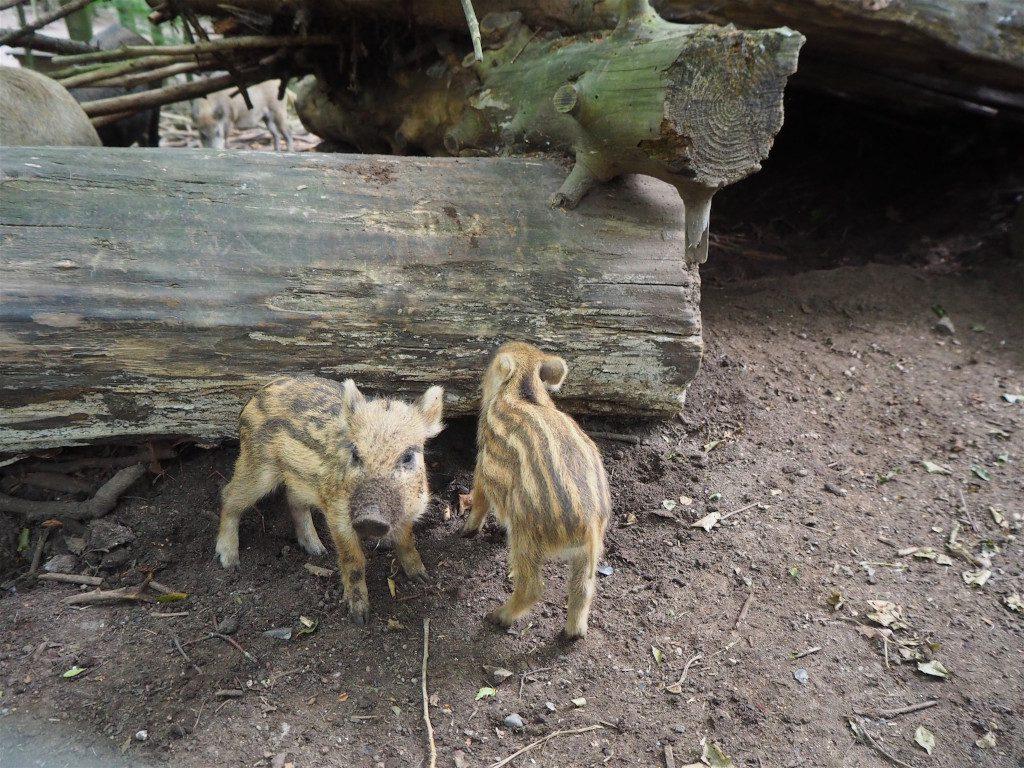 Frischlinge im Wildpark Malente