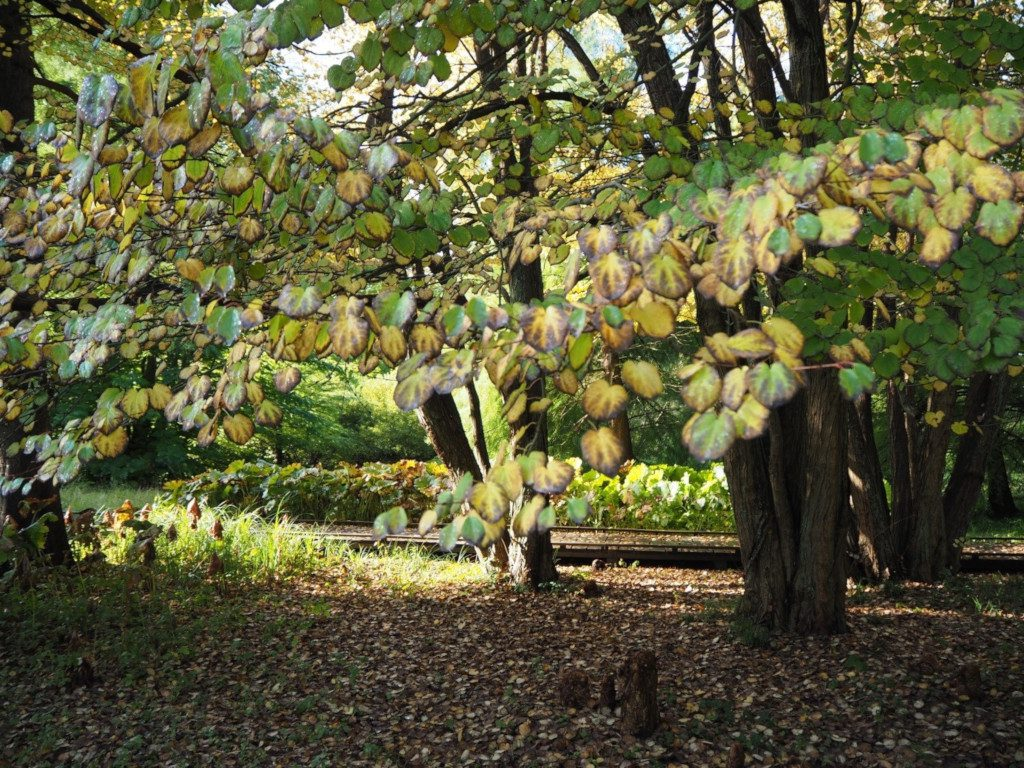 Indian Summer Kuchenbaum im Kurpark Malente