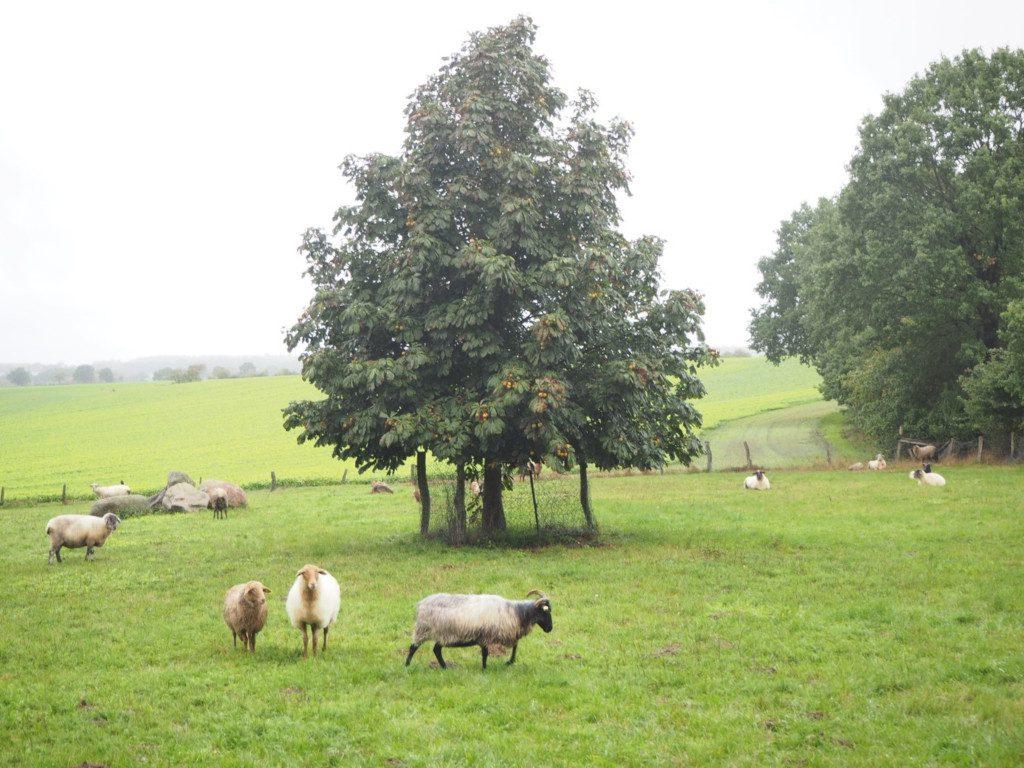 Schafe unterm Kastanienbaum