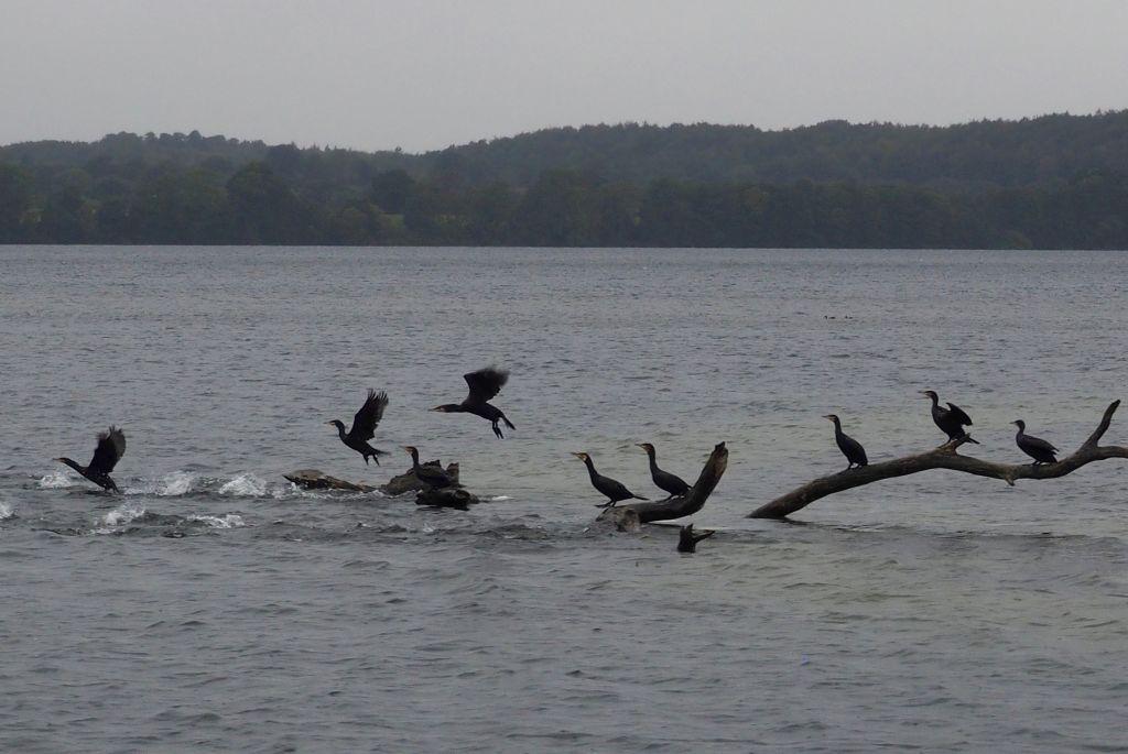 5-Seen-Fahrt zu Fuß - Kormorane rasten auf dem Behler See