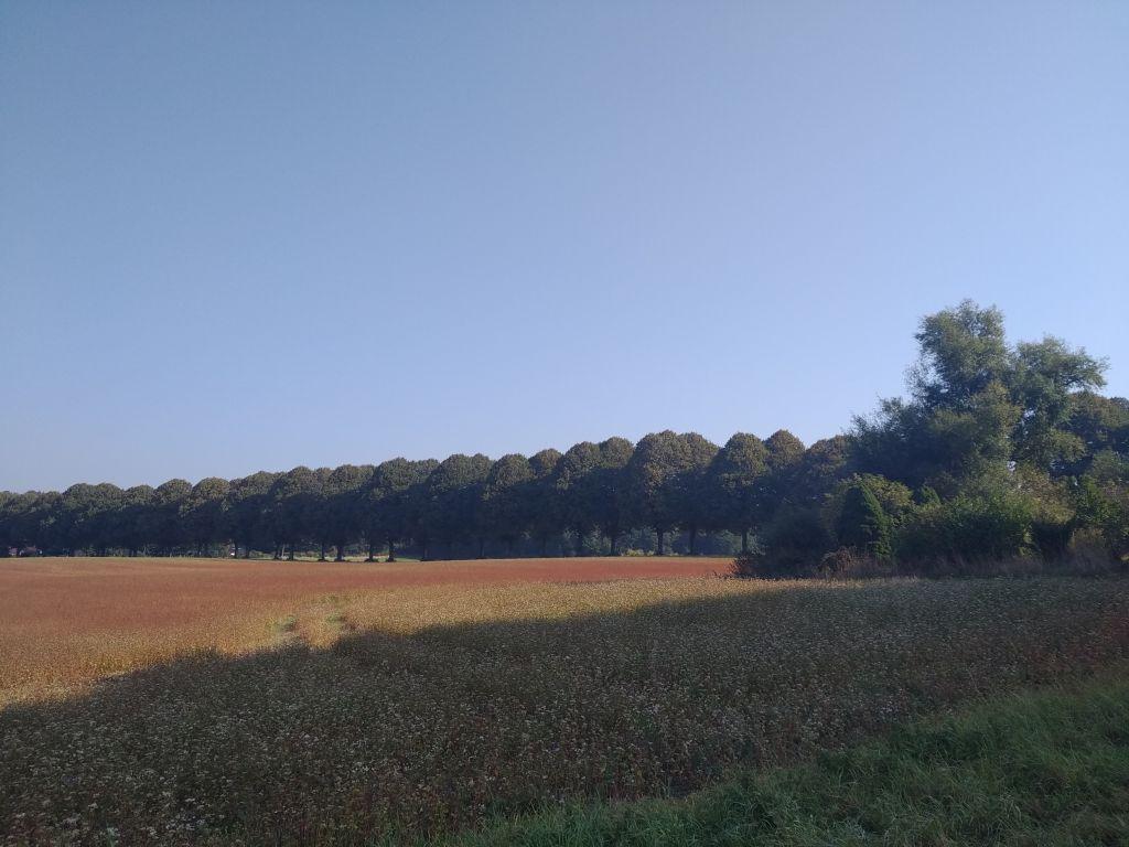 Die Lindenallee teilt die Felder
