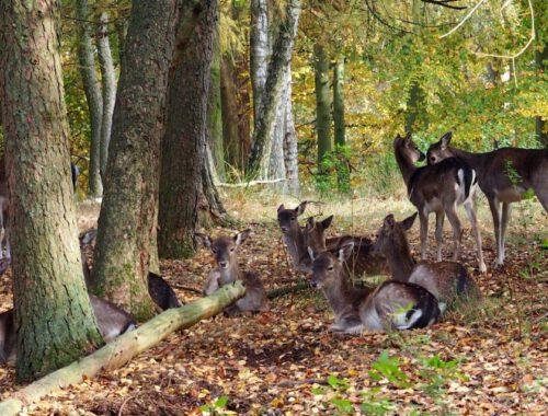 Goldener Herbst_Damwild