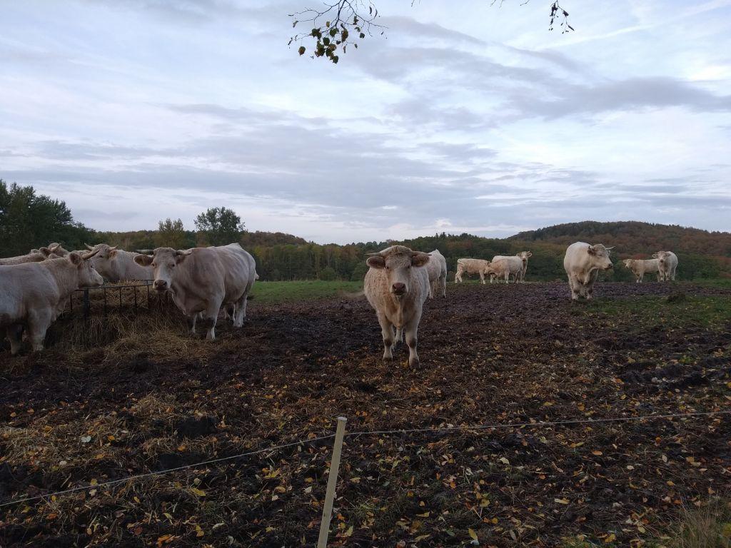 Charolais-Kühe beim Biohof Hafkamp