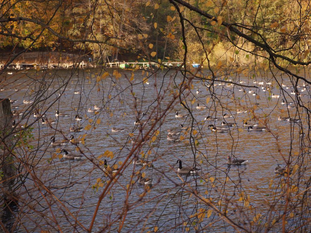 Goldener Herbst mit Kanadagänsen