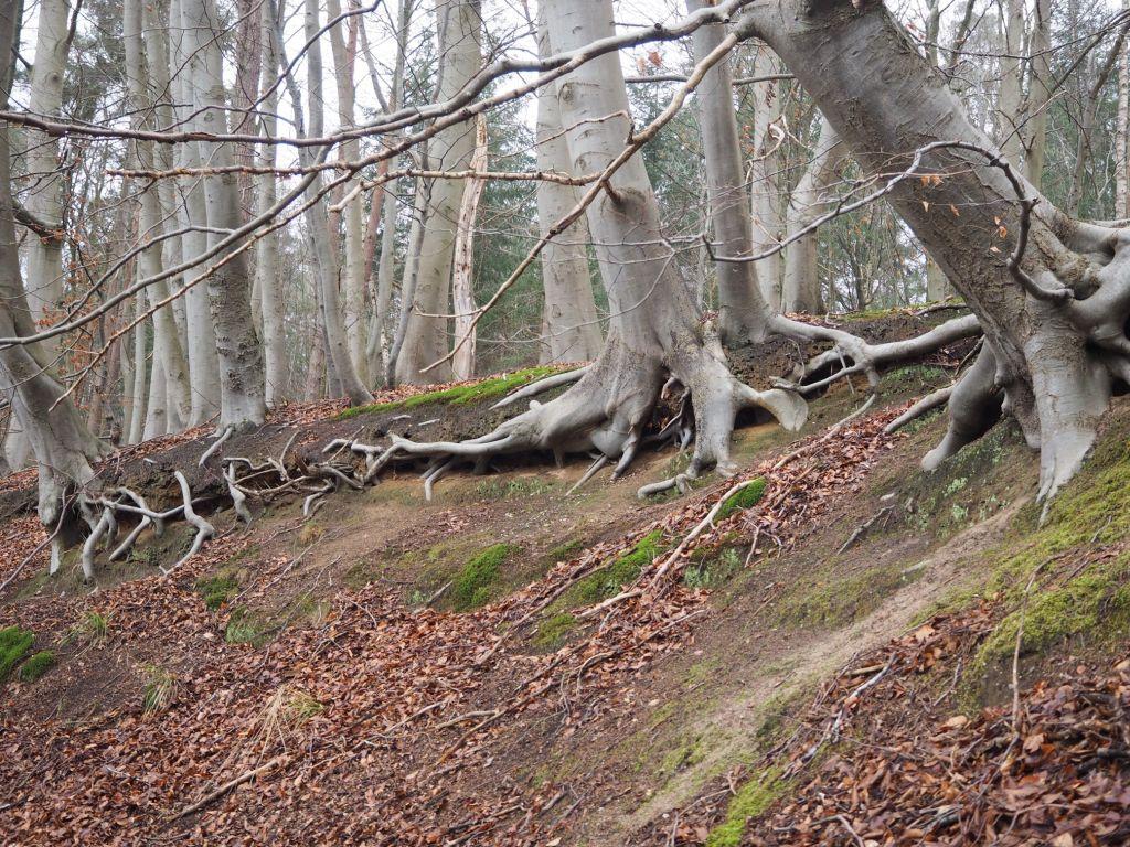 Wurzelsicherheit im Winterwald