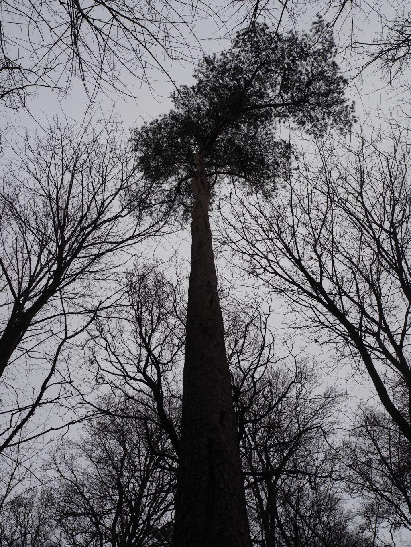 Pfeilgerade Fichte im Winterwald