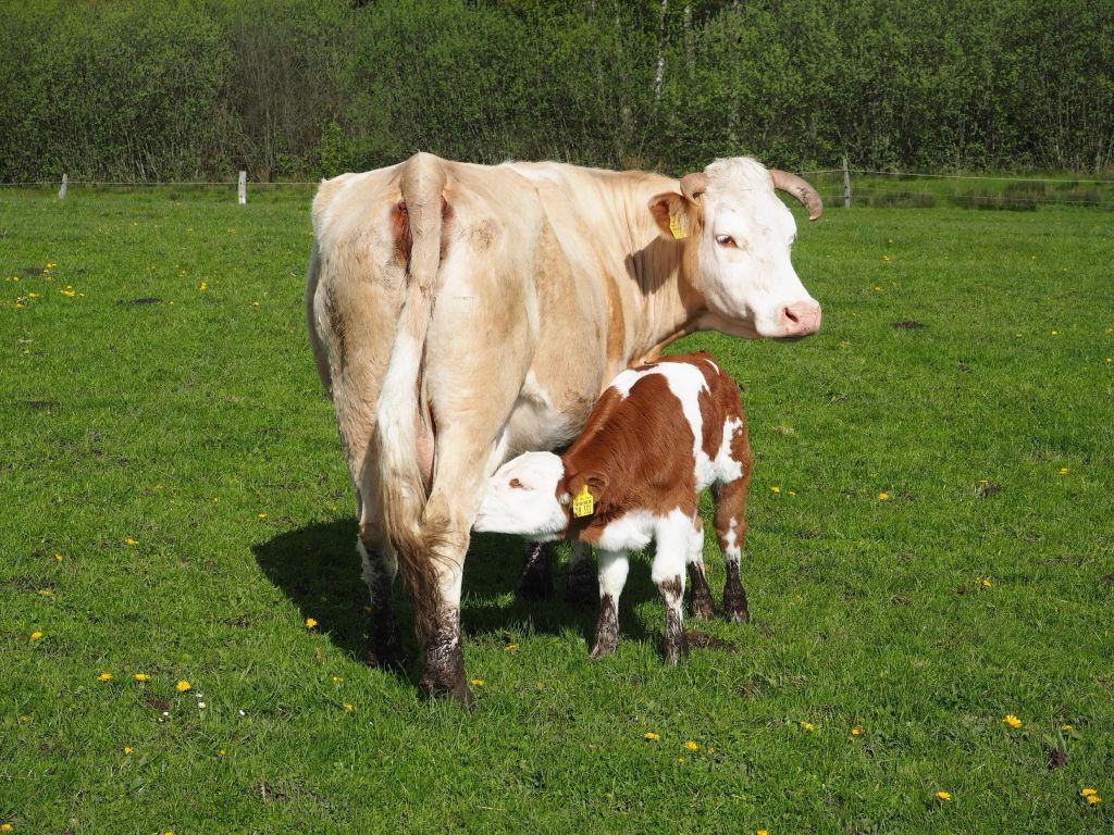 Die Nutztier-Arche bietet auch Kühen ein Zuhause