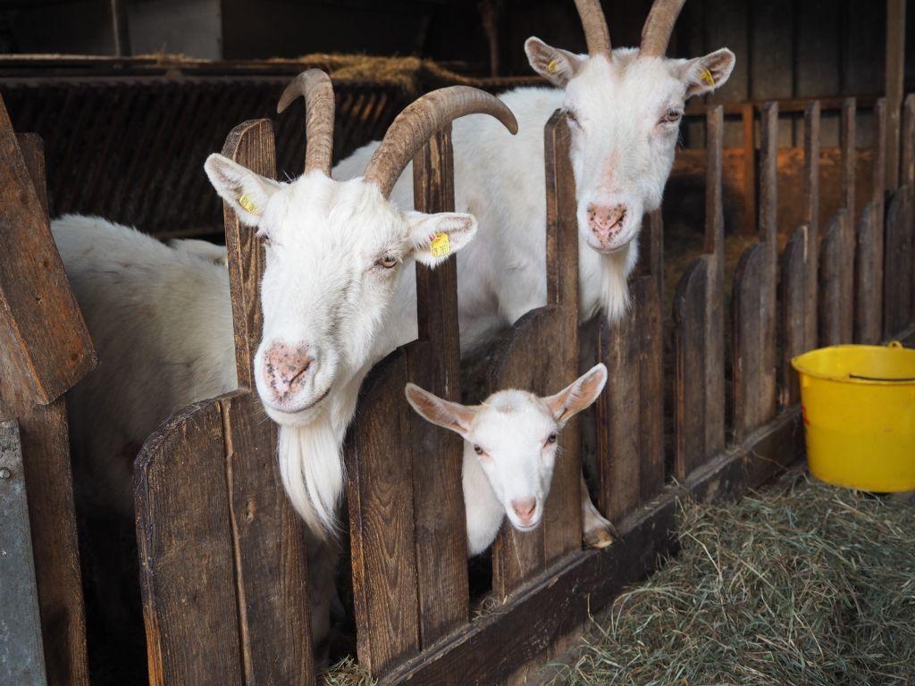 Auf der Nutztier-Arche fühlt sich auch Familie Ziege wohl