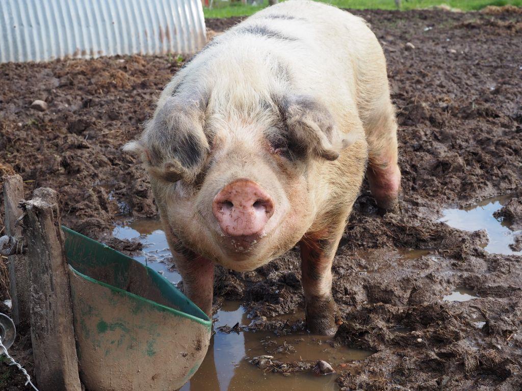 Schwein Whity fühlt sich im Matsch sauwohl