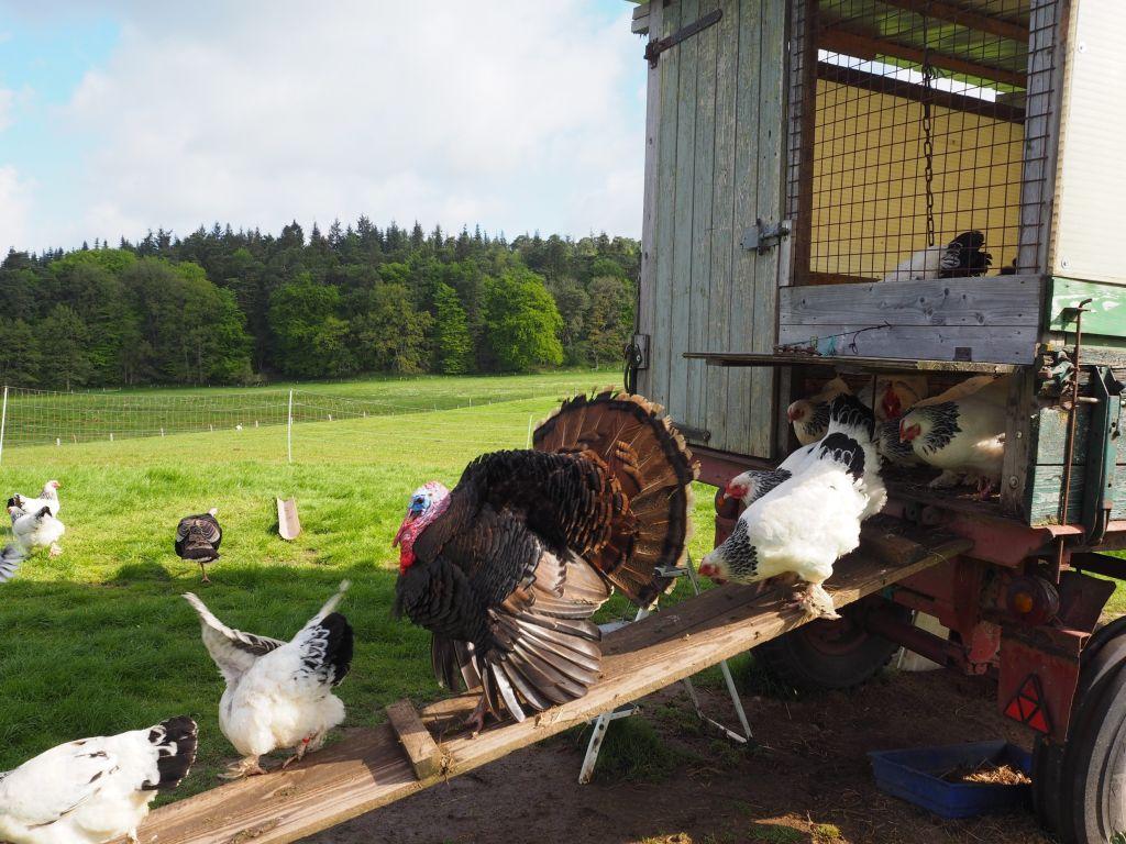 Der Truthahn der Nutztier-Arche ist Chef im Hennen-Ring