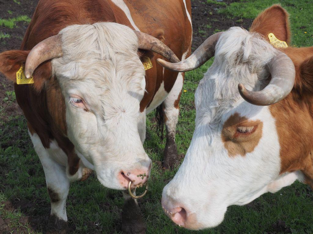 Auf der Nutztier-Arche bleiben Kuh und Bulle ihr ganzes Leben beieinander